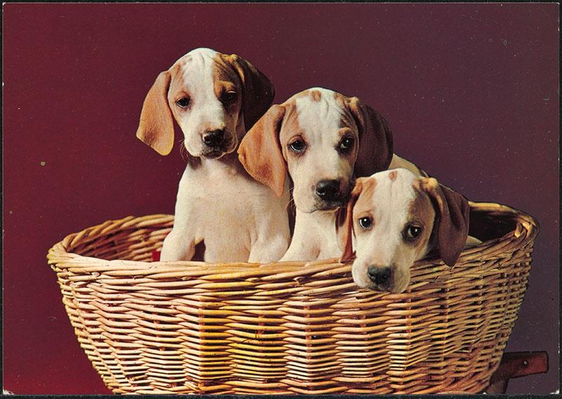 drie jonge honden in een rieten mand, gebruikt ter inspiratie voor het kinderboek: de puppies van snuffie
