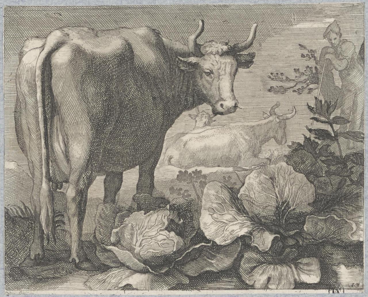 Koeien bij koolplanten