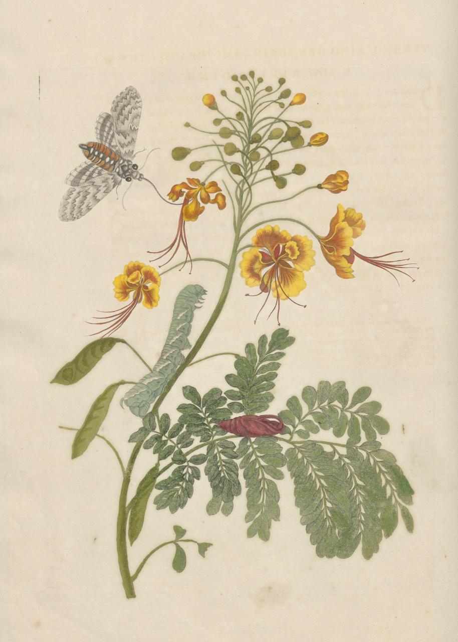 4/7 - Maria Sibylla Merian, Plaat 45 uit Metamorphosis Insectorum Surinamensium, 1705, tekening in waterverf. Collectie Universiteit Utrecht.